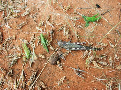heuschrecken mauretanien